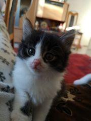 langhaar Kitten