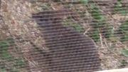 Wallaby Känguru Parma