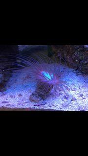 Zylinderrose Koralle Meerwasser