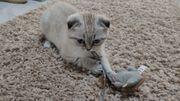 BKH Kitten zuckersüßes Mädchen Kätzchen