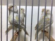 verschiedene Kanarienvögel Achat TIERVERSAND MÖGLICH