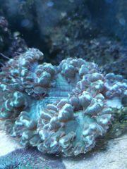 LPS Korallen Goniopora Fungia Plerogyra