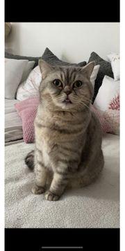 Britisch Kurzhaar Katze abzugeben