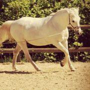 Suche Reitbeteiligungspferd