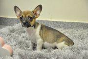 Neugierige Französische Bulldogge x Chihuahua