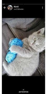 Wunderschöne-REINRASSIGE BKH Kitten Katzenbabys Kartäuser