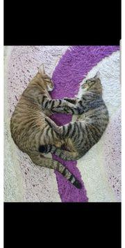Zwei Schmusekatzen abzugeben