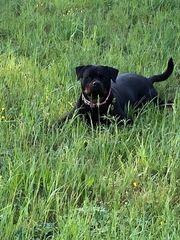Wurfankündigung - Rottweiler Welpen