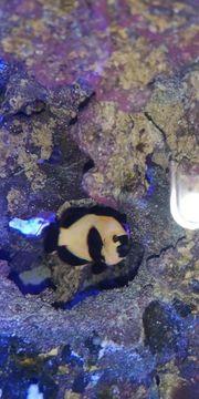 Gold Nugget Anemonenfisch