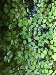 Salvinia Schwimmpflanzen Wasserpflanzen