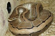 1 0 Pinstripe NZ11 - Python