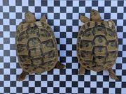 Dalmatinische Landschildkröten T h b