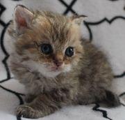 Süße Selkirk Rex Kätzchen mit