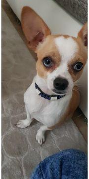 Chihuahua In Bergheim Hunde Kaufen Verkaufen Auf Quoka De