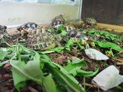 Landschildkröten Nachzuchten zu verkaufen