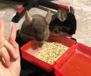Zwei Chinchilla-Jungtiere Böckchen zu verkaufen