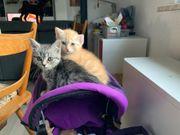 Britisch Kurzhaar - Scottish Fold Katzenbabys