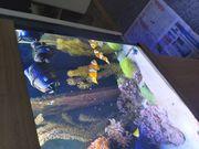 Clownfische mit anemone