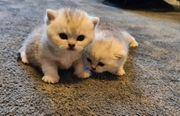 BKH Silver-Shadet Kitten