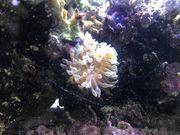Blasenanemone Meerwasser
