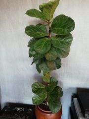 Ficus Lyrata - Geigen Feige