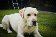 Ein schoner und erfahrener Labrador-Retriver