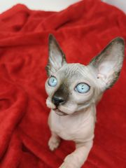 Canadian Sphynx Elf Kitten