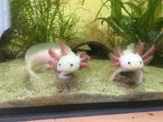 Junge Axolotl 11-23 cm zu