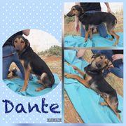 Rüde Dante 1 5 Jahre