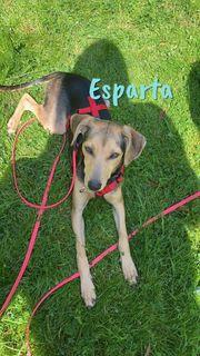 Ratonero Bodeguero Andaluz-Terrier-Mix Esparta