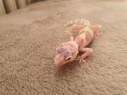 Leopardgecko Enigma Syndrome Weibchen Mack