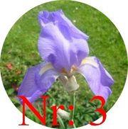 Biete Schwertlilien Iris Blau Pflanzen