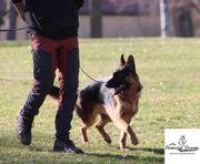 Junger 1jähriger Deutscher Schäferhund