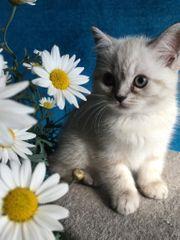 Reinrassiges süßes BKH Kätzchen Kitten