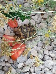 Wir nehmen Griechische Landschifkröten auf