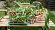 Amaryllis-Zwiebeln - erzeugen keimfähige Samen