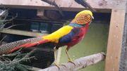 Goldfasan Rot Fasan Geflügel Ziergeflügel