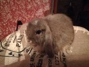 Tolle Minilop Kaninchen Babys abzugeben