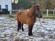 Isländer Islandpferd Pony Pferd