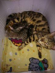 Bengal Mix kitten