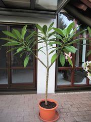 Frangipani Plumeria Tempelbaum gelb weiß