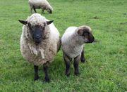 Shropshire Schafe Lämmer Bock-lämmer reinrassig
