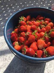 Frische Erdbeeren vom Feld 5kg