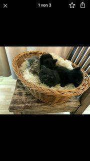 Reinreissiger Süßen Kitten BKH 3