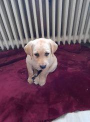 Liebe Labrador Welpin sucht ein