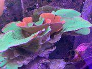 verschiedene Korallen