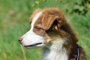 Wunderschöne Australian Shepherd Welpen ASCA