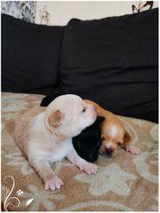 3 Reinrassige Chihuahua welpen
