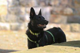 Hunde - aufgeweckter kroat Schäferhund Mischlingsrüde Gyros