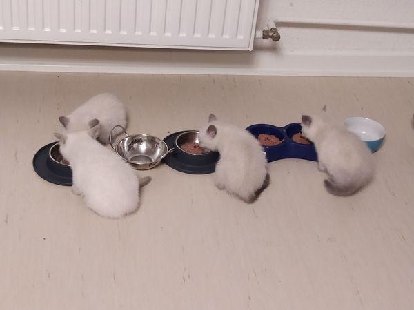 Reinrassige BKH Kitten zu verkaufen